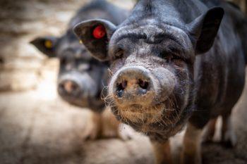 Varkens en hangbuikzwijnen